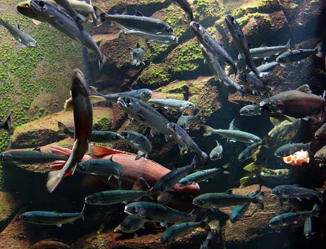 クラゲに特化したその展示で全国的にもメジャーな水族館となりましたね「鶴岡市立加茂水族館」(山形鶴岡)