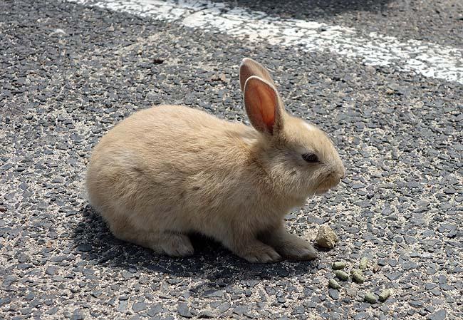 人懐っこい野生のウサギが700頭もいる島は実は毒ガス島であった!(日本一周334日目前編)