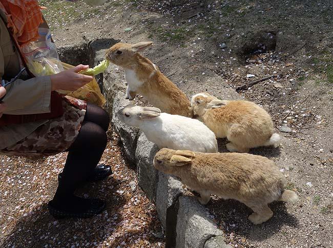 人懐っこい野生のウサギが700頭もいてる観光客に大人気の島「大久野島」(広島竹原)
