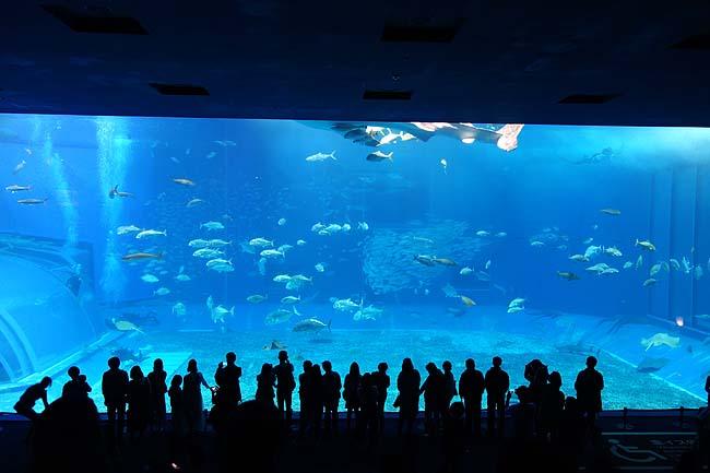 沖縄ナンバー1人気観光地「美ら海水族館」へ♪でっかい水槽前のカフェって最高やね