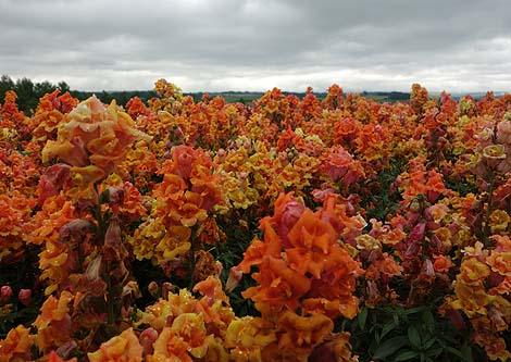 美瑛の丘めぐりではここははずせないでしょう「展望花畑 四季彩の丘」(北海道美瑛)
